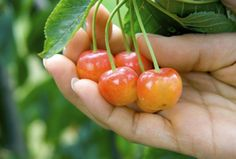 The Rainier Cherry Tree is one of the best and most popular cherries in America. It's large, yellow fruit with red blush is extremely sweet and delicious. The Rainier's distinct flavor and heavy production makes it a favorite among home-gardeners and orchard owners. It is an early bearing variety that ripens mid-season and is considered the best yellow cherry and possibly the most superior of all cherry varieties. Rainier requires 800-900 chilling hours.  Grows in zones: 4 - 7.