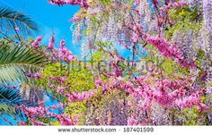 wisteria branches | Wisteria branch Stock Photos, Illustrations, and Vector Art