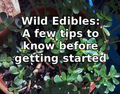 Wild Edibles : a few tips to know before getting started