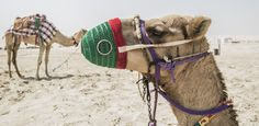 Inland Sea Desert, Qatar Camel, Deserts, Sea, Animals, Animales, Animaux, Camels, Postres, The Ocean
