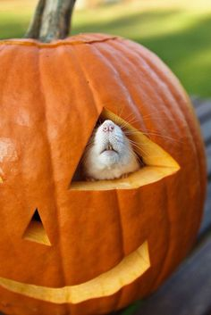 It's almost halloween and we're getting ready to start carving out pumpkin! This little guy is a good reminder to get out there and pick a great pumpkin, and perhaps carve it up as inspired by some awesome spiffy pet stuff! Hamsters, Rodents, Animals And Pets, Baby Animals, Funny Animals, Cute Animals, Small Animals, Beautiful Creatures, Animals Beautiful