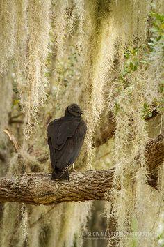 Nature's Sanitation Crew - Black Vulture (Coragyps atratus) at Myakka State Park, FL.  | Show Me Nature Photography