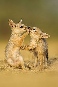 ~~Indian Fox Pups ~ Vulpes bengalensis kits at play by Sandesh Kadur~~