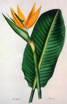 Picturing Plants and Flowers: Joseph Prestele: Bird of Paradise
