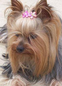 Pictures of Yorkshire Terrier Dog Breed #yorkshireterrier