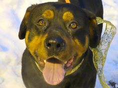 SAFE --- URGENT - Manhattan Center    MIDNIGHT - A0754497  *** RETURNED AS A STRAY ON 2/7/14 ***   SPAYED FEMALE, BLACK / BROWN, ROTTWEILER, 6 yrs  STRAY - ONHOLDHERE, HOLD FOR ID Reason STRAY   Intake condition NONE Intake Date 02/07/2014, From NY 10459, DueOut Date 02/10/2014 Main thread: https://www.facebook.com/photo.php?fbid=754634064549475&set=a.617938651552351.1073741868.152876678058553&type=3&permPage=1