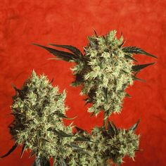 Marley's Collie - a superb blend of Jamaican Sativa and super-sweet Afghan hash-plant!  http://sensiseeds.com/cannabis-seeds/sensi-seeds/marley-s-collie