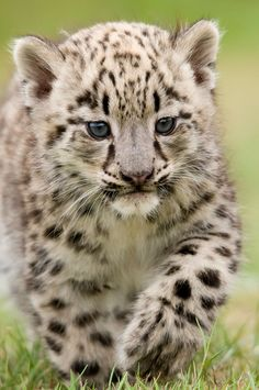 A six week old Snow Leopard cub taken at the Cats Survival Trust. This is the first stage of a ten year plan to re-introduce these cats back into the wild. Beautiful isn't she!