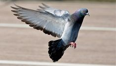 Petition: Stop annual slaughter of domestic pigeons in Strasbourg in October and November!
