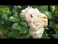 Rosenpflege nach der ersten Blüte - YouTube Make It Yourself, Youtube, Plants, Gardening, Ceramic Flowers, Ideas, Felt, Interesting Facts, Balcony