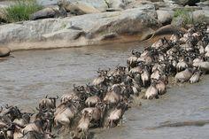Wildebeest crossing Mara River to greener pastures.
