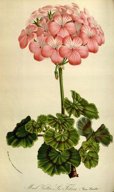 Pelargonium zonale (L.) L'Hérit. var. Madame Victor Le Febvre ...