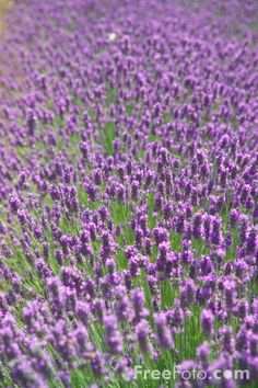 Lavender for in front of my hydrangeas Lavender Blue, Lavender Fields, Lavender Flowers, Free Use Images, Lavandula Angustifolia, Lilacs, Hydrangeas, Color Of Life, Shades Of Purple
