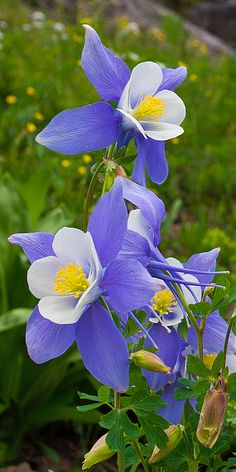 Columbines - Vertical alpine wildflower series by Aaron Spong