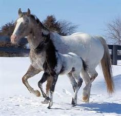 Appaloosa Horses - Bing Images                                                                                                                                                     More