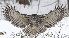 "questforwildlife: "" ""You've Been Barred"" Barred Owl photo captured near Angus, Ontario Canada in the Minesing Wetlands. Owl Photos, Owl Pictures, Owl Bird, Pet Birds, Owl Wings, Angel Wings, Strix Nebulosa, Short Eared Owl, Barred Owl"