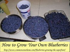 Grow Bluberries