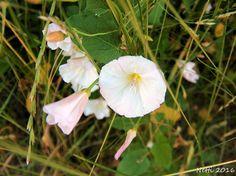 Ackerwinde, Blüten