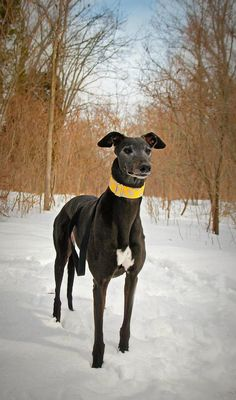 A beautiful greyhound, doing her thing...collar modeling <3