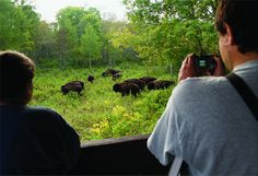 Watching the bison in Riding Mountain National Park, Manitoba, Canada. Riding Mountain National Park, Mountain Biking, Parks Canada, Road Trip Destinations, Western Canada, Road Trip Usa, Hiking Gear, Travel Scrapbook, Canada Travel