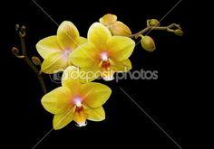 Żółte kwiaty storczyki na czarnym tle z bliska — Obraz stockowy #5726020