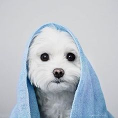 Types Of Dog Breeds Untitled.Types Of Dog Breeds Untitled Maltese Poodle, Maltese Dogs, Dogs And Puppies, Doggies, I Love Dogs, Cute Dogs, Cute White Dogs, Le Terrier, Vida Animal