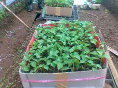 Kemasan 50 - 100 batang per kantong siap dibagikan kepada  masyarakat di Kabupaten Agam