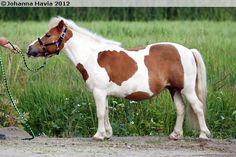 Shetland Pony - mare Stonebay's Evita