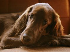 Close View of an Irish Setter Photographic Print from AllPosters.com - $39.99