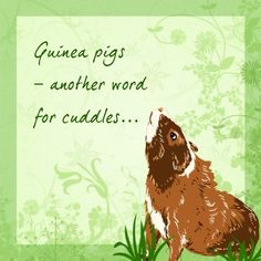 Guinea pigs = cuddles! Absolutely!