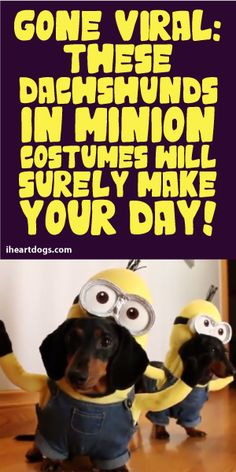 Gone Viral: These Dachshunds In Minion Costumes Will SURELY Make Your Day!!! :)