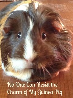 No One Can Resist the Charm of my Guinea Pig