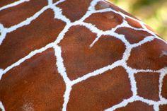 Giraffe with 'heart' visits Oregon Zoo