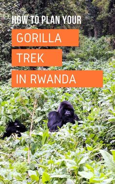 Gorilla trekking is the best nature encounter I've had in my life. The first gorilla you see in person is life changing. It's simply an experience like no other. Read on to learn more about…