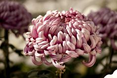 Japanese Chrysanthemums one of my favourite flowers Unique Flowers, Types Of Flowers, Zinnias, Chrysanthemums, Dahlias, Japanese Chrysanthemum, Lush Garden, Irezumi, Aesthetic Pictures