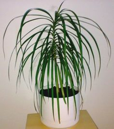 Dracaena Dracaenas Compose A Large Group Of Por Foliage Plants Most Grow Strongly Upright With Long Straplike Leaves Variegated White Cream