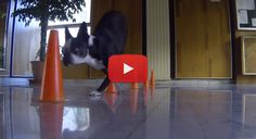 This Boston Terrier is able to walk in a Slalom Course on 2 Paws! WATCH► http://www.bterrier.com/?p=26013
