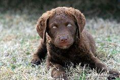 Chesapeake Bay Retriever- Future Dog :)