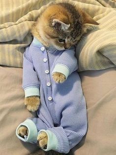 Look at this cutie in his little pajamas. Why can't all cats tolerate clothing like this one?
