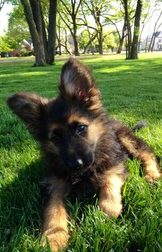 """My dog """"Friday"""". A long haired German Shepherd puppy."""