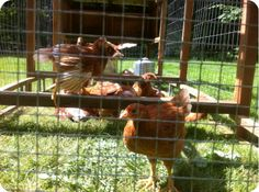 11 Things to Think About When Picking a Plan for Housing your New Chickens