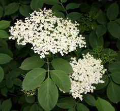 Elderflower is ruled by Mercury, Saturn, and Venus. Use the flowers in wish spells. If a person, place, or thing is scattered with the herb's flowers, leaves, and berries, that person or thing will be blessed. Legend says that a dryad named Elder Mother lives inside the herb's wood. If her wood is cut down, that person will be haunted by her. On Midsummer Eve, sleeping or standing under the elder will enable to see the passing of the King of the Faeries and his attendants.