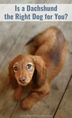facts - Dachshund traits ---> Think a Dachshund is the perfect dog for you? Read this list of 21 Dachshund traits and characteristics to help make the best decision on your next dog! Dachshund Funny, Dachshund Breed, Wire Haired Dachshund, Dachshund Love, Daschund, Dachshund Facts, Doxie Puppies, Popular Dog Breeds, Best Dog Breeds