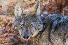 Algonquin Wolf Algonquin Park, Highlands, Wolf, Animals, Animales, Animaux, Scottish Highlands, A Wolf, Wolves