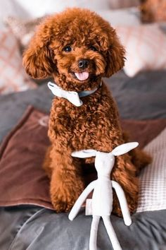Poodles are considered to be the best breeds to own as there are extremely sensitive and much attached. Poodle puppies are one of the cutest and eye-catching puppies ever. #poodlepuppy #poodlepuppytraining #poodlepuppies #cutepoodlepuppies #dogsandpuppiespoodle #dogsandpuppies #cutedogs Poodle Mix Puppies, Dogs And Puppies, Cute Dogs, Poodles, Pets, Standard Poodles, Poodle, Funny Dogs, Cockapoo