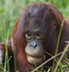 Palm Oil Investigations - Palm Oil Free Products List Shop/travel smart - save the Orangatans and our rainforests!