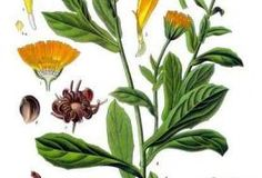 Calendula is one of the amazing botanicals that infuses our natural skincare blends. Calendula is ideal for all skin types, especially hormonal acne. Botanical Drawings, Botanical Illustration, Botanical Prints, Healing Herbs, Medicinal Plants, Impressions Botaniques, Illustration Botanique, Calendula Benefits, Calendula Oil
