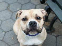 SAFE --- URGENT - Manhattan Center    RIVERS - A0993529   *** SAFER: AVERAGE HOME ***   MALE, TAN / WHITE, PIT BULL MIX, 2 yrs  STRAY - STRAY WAIT, NO HOLD  Reason STRAY   Intake condition NONE Intake Date 03/09/2014, From NY 10013, DueOut Date 03/12/2014  https://www.facebook.com/photo.php?fbid=772297999449748&set=a.617938651552351.1073741868.152876678058553&type=3&permPage=1
