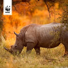 Entsetzliche Nachrichten :( Allein in Südafrika wurden im letzten Jahr 1.215 Nashörner gewildert - noch mehr als im Vorjahr. Durch den Naturschutz ist die Zahl der Nashörner in Afrika in den letzten 20 Jahren sogar deutlich gewachsen - inzwischen frisst die Wilderei das Wachstum wieder auf… www.wwf.de/bild-des-tages