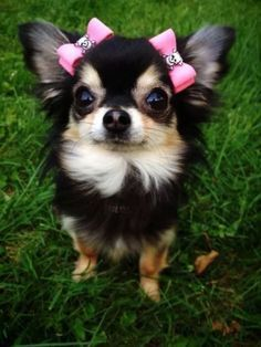Chihuahua chihuahua 4 - If more than a few of these points apply to you. then there's straight up no denying that you're indeed a crazy chihuahua person! Chihuahua Puppies, Cute Puppies, Dogs And Puppies, Doggies, Long Hair Chihuahua, Labradoodle Puppies, Baby Dogs, Baby Animals, Funny Animals